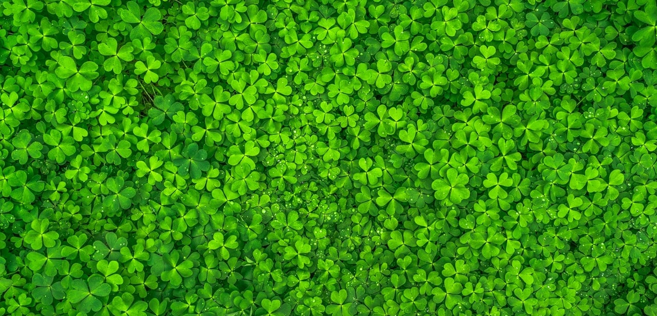 Field of four leaf clovers.